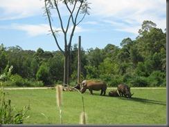 Australia Zoo african savannah rhinos (6)