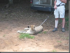 Australia Zoo cheetah 131