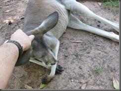 Australia Zoo Kangaroo 087 (4)