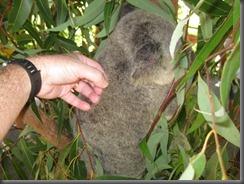 Australia Zoo Koala 058 (6)