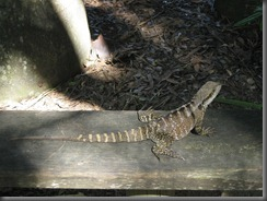 Australia Zoo water dragon 017