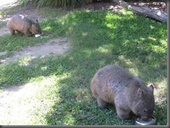 Australia Zoo wombat feeding 079 (7)