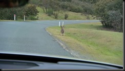 Volvo Cars begins first ever Australian tests for unique kangaroo safety research technology GAYCARBOYS (3)