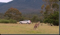 Volvo Cars begins first ever Australian tests for unique kangaroo safety research technology GAYCARBOYS (4)