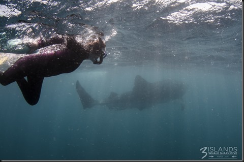 The diver is about 150cm tall, the whale shark is close to 10 metres long